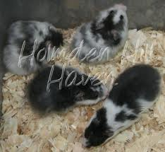 Third is the Dominant Spot hamster also called the Dalmatian Hamster ...